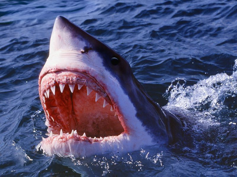 Did you know that Sharks were supposed to play a big part in the UFC?
