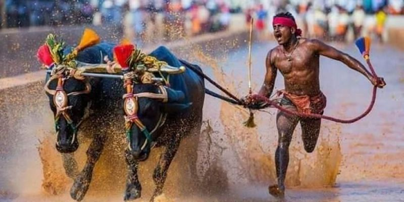 Srinivasa Gowda with his buffaloes in a Kambala race