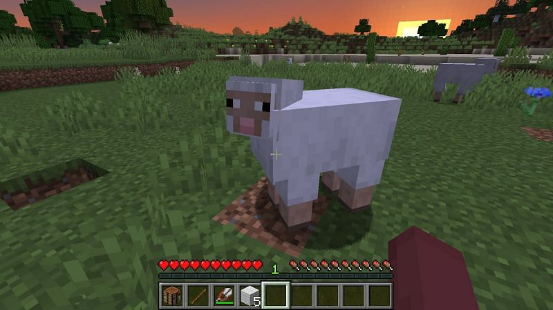 When a sheep eats grass, its wool gets regenerated and grows back