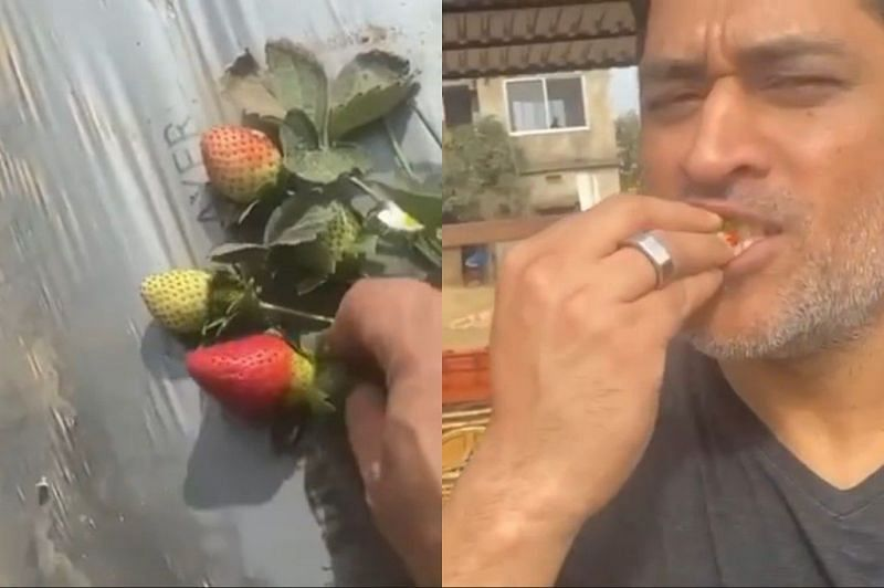 MS Dhoni enjoyed strawberries in his farm