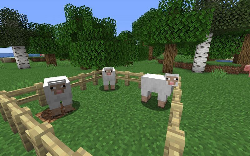 Sheep occasionally eat grass in Minecraft, but they will not die or despawn without it (Image via Minecraft)