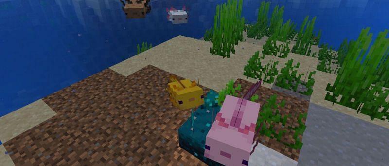 Axolotls underwater (Image via Minecraft Wiki)
