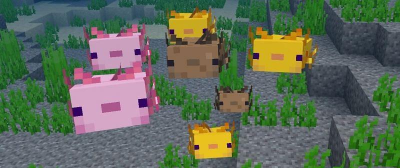 Shown: A group of adorable Axolotls (Image via Mojang)