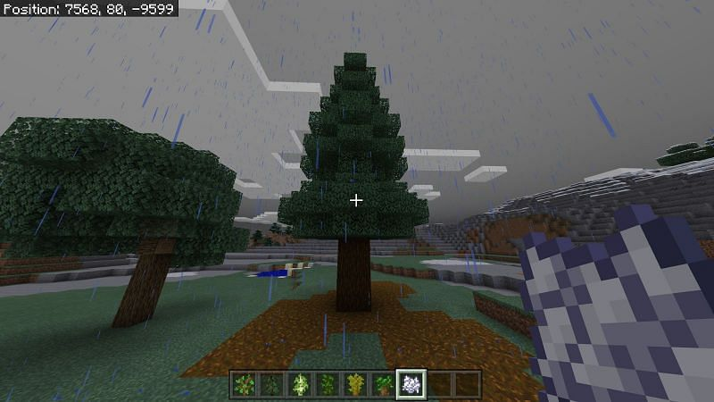 However, there is a variant of spruce tree that you can grow if you plant 4 saplings in a 2x2 space and there exists 14 spaces above the tree in a 6x6 column