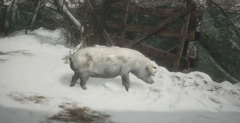 The White Pig